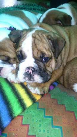 Bulldog inglês(global pets ) Bairro Central - imagem 1