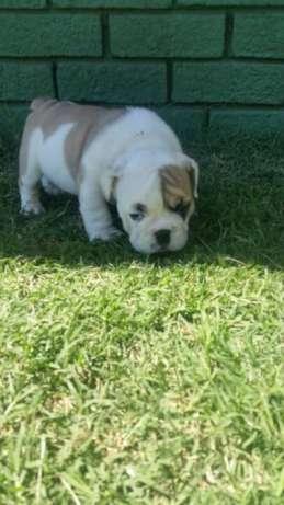 Bulldog inglês(global pets ) Bairro Central - imagem 3