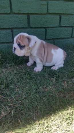 Bulldog inglês(global pets ) Bairro Central - imagem 4