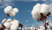 Produtores e fomentadores do algodão divergem no preço de compra