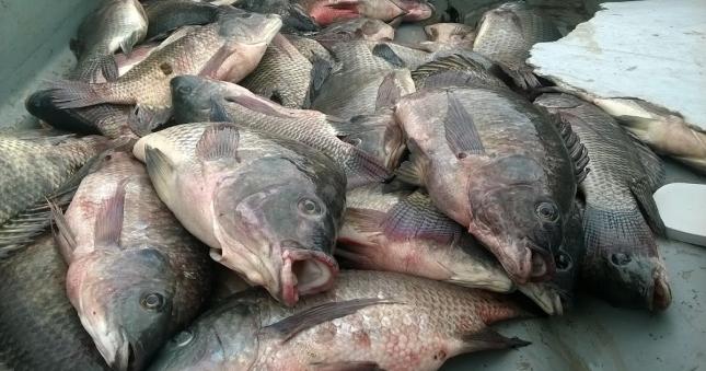 Exportadas cerca de mil toneladas de pescado da Albufeira de Cahora Bassa para países da SADC