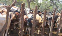 Detido suposto cabecilha do grupo que roubava gado em Manica