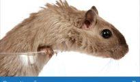 Controlo de Pragas - Eliminação de Ratos (orçamento gratuito) Bairro Central - imagem 1